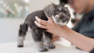 Schnauzer Puppy First Grooming.