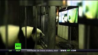 Crazy Alert - XXX Panda....Porn