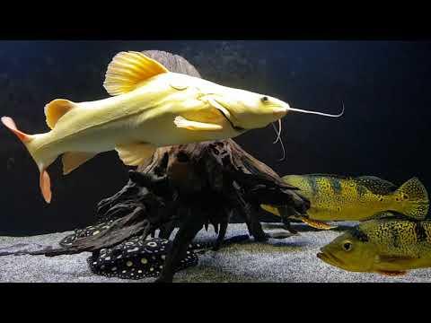 HUGE Platinum Redtail Catfish.