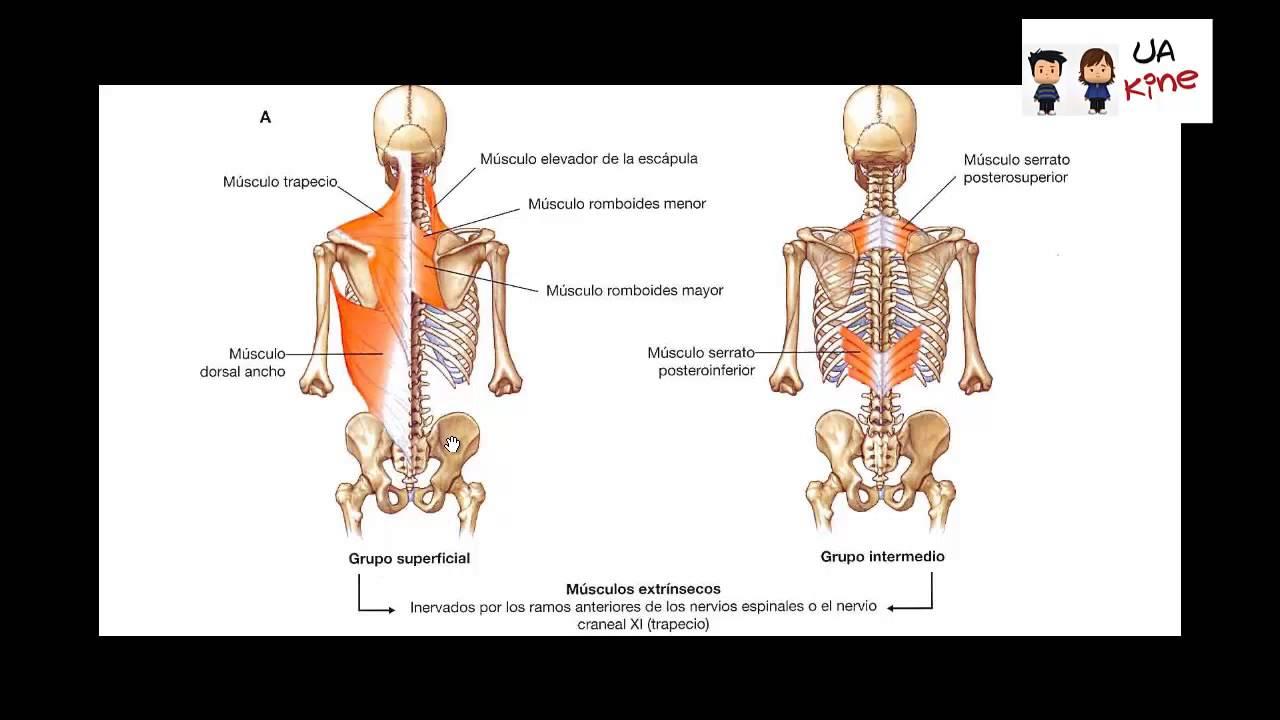Anatomia - Musculos Region Posterior del Tronco - YouTube