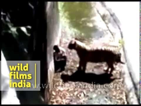 Delhi zoo Tiger attack : Indian man gets killed