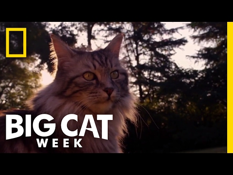 How Are Big Cats and Little Cats Similar? | Big Cat Week