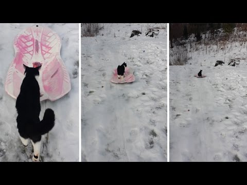 Cat Pushes Itself On A Sled