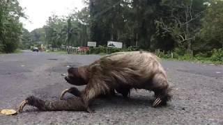 sloth crossing a road - super creepy!