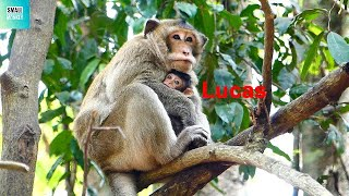 Monkey Fluffy really Love Baby Lucas so much, Fluffy take care baby monkey Lucas