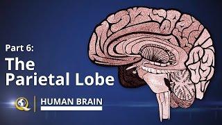 Parietal Lobe - Human Brain Series - Part 6