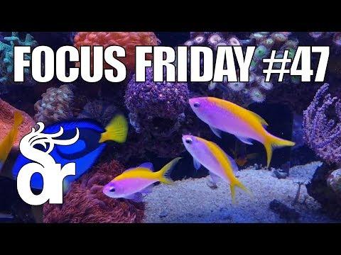 FF#47 | Keeping Evansi Anthias In Your Reef Tank
