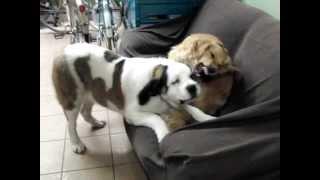 生後7か月になりました。とうとうお姉さん犬のゴールデンより大きくな...