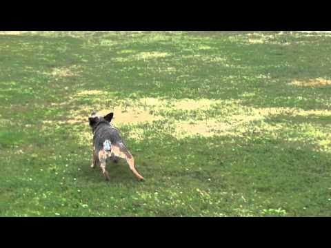 Crazy dog chases balloon