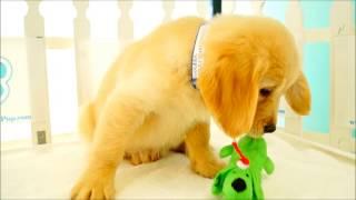 Golden Retriever Puppies For Sale!