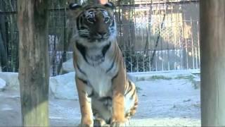 東武動物公園のケープちゃんが、ゲロを吐いてました。 トラのゲロも、猫...