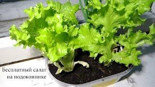 Бесплатный салат на подоконнике