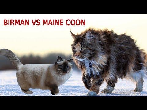 Birman Cat VS Maine Coon Cat - Maine Coon VS Briman Cat | Differences Explained