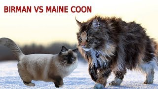 Birman Cat VS Maine Coon Cat  Maine Coon VS Briman Cat | Differences Explained