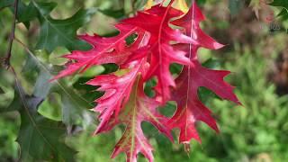видео Дуб (Quercus)