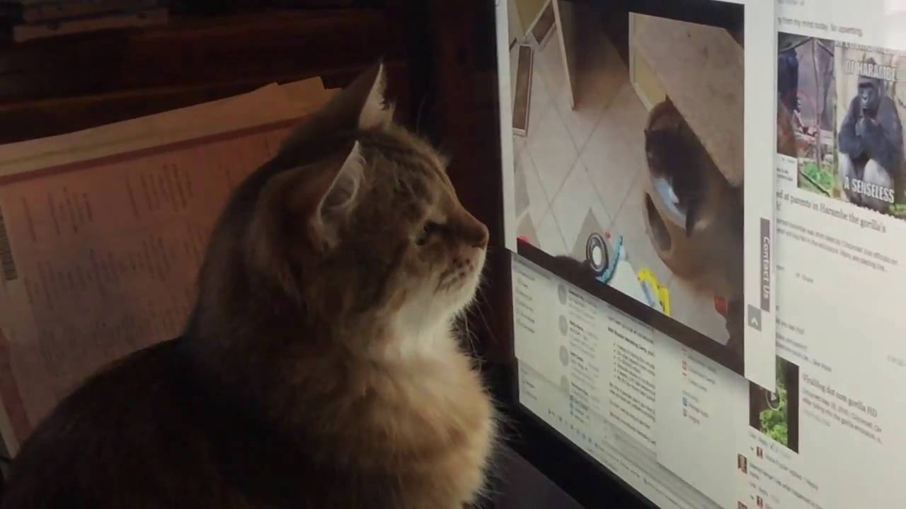 Mother cat is confused by live kitten cam