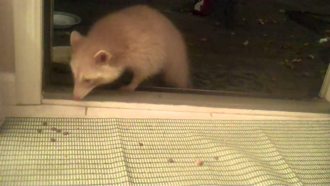 Albino raccoon in my backyard - YouTube