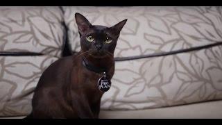 Бурма ➠ Узнайте все о породе кошек