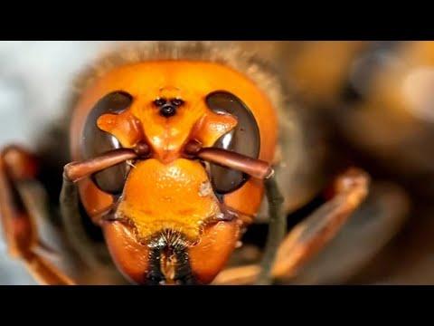 Search for giant, border-hopping murder hornet nest in B.C.