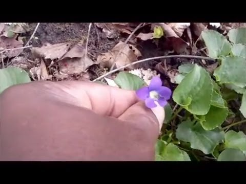 Foraging with The Urban-Abo - Spring Edibles 1 - Featuring Sweet Violets (Viola odorata)