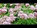 "Наталя Земна - Сицилійські трави - ""Ранок"" на КРТ"