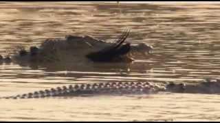 (Doku) Australiens Riesen-Krokodile