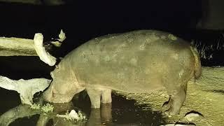 Djuma: Hippo with injured leg arriving - 03:18 - 07/13/19