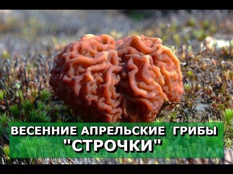 🍄Строчки ошибочно называю Сморчками.💥Апрельские грибы \
