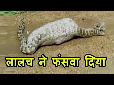 जब Nilgai को निगल गया Rock Python, हिलना भी हुआ मुश्किल