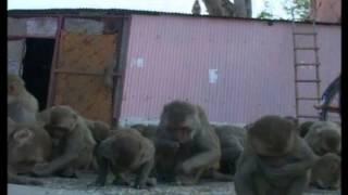 Vrindavan Monkey Project