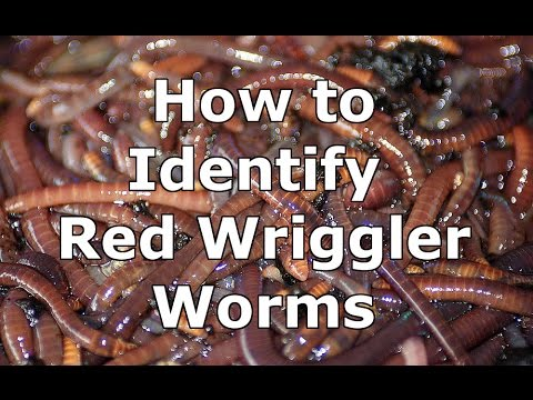 How To Identify Wild Red Wiggler Worms Eisenia Fetida