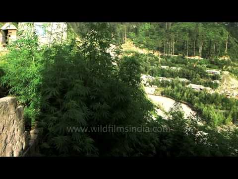 Marijuana growing wild by the thousands in mountains of Himachal