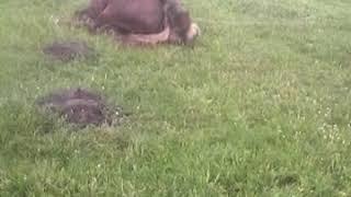 Собака изнасиловал лошадь