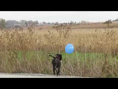 Tipper (the dog) playing with a balloon at Micah's 1st birthday party