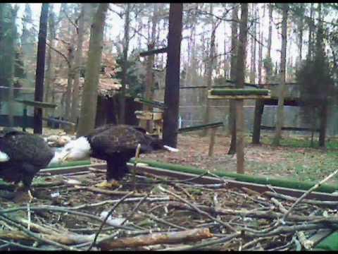Derek &  Savannah Bald Eagles Carolina Raptor Center  Huntersville, NC 02/15/10