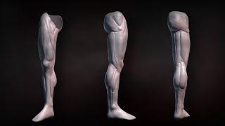 Мышцы нижних конечностей. Анатомия