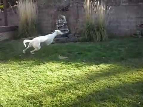 Greyhound runs laps in back yard