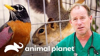 Salvando animales salvajes después de una tormenta de granizo | Dr. Jeff, Veterinario |Animal Planet