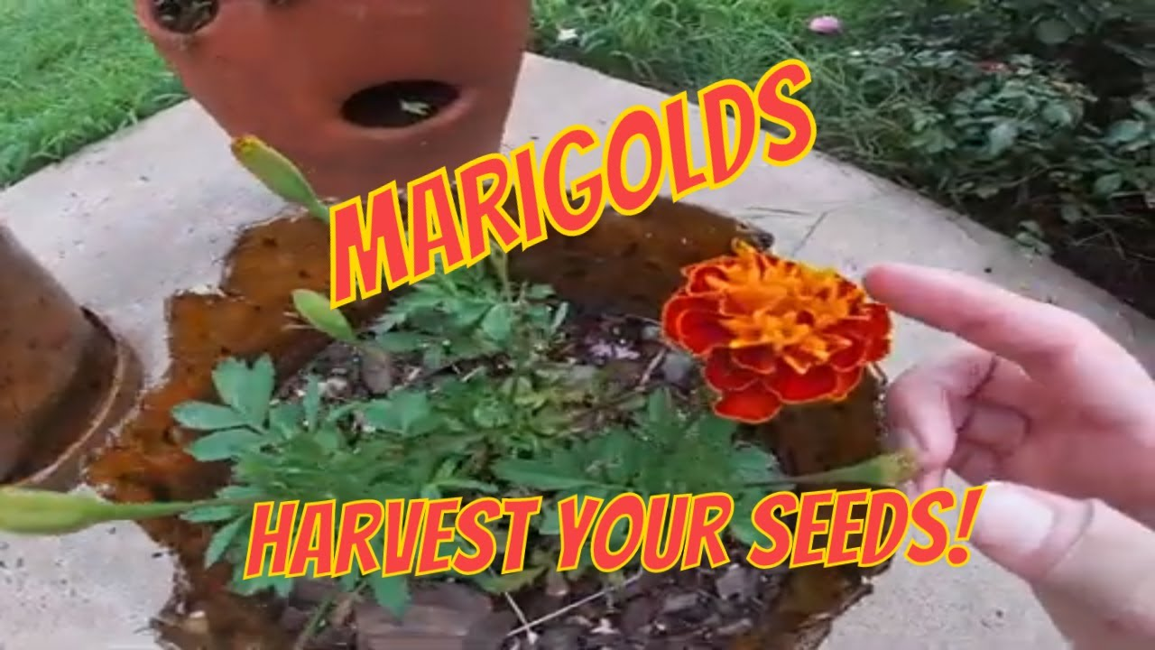 How To Harvest Marigold Seeds And Deter Wasps Youtube