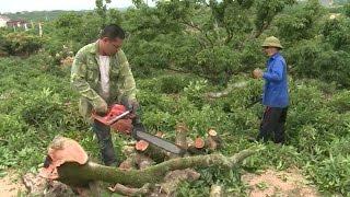Tình trạng người dân ồ ạt phá vải thiều ở Lục Ngạn, Bắc Giang