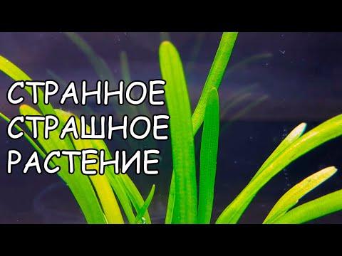 САГИТАРИЯ ПЛАТИФИЛЛА. САГГИТАРИЯ ШИРОКОЛИСТНАЯ. Sagittaria platyphylla. СЕКРЕТЫ ВЫРАЩИВАНИЯ