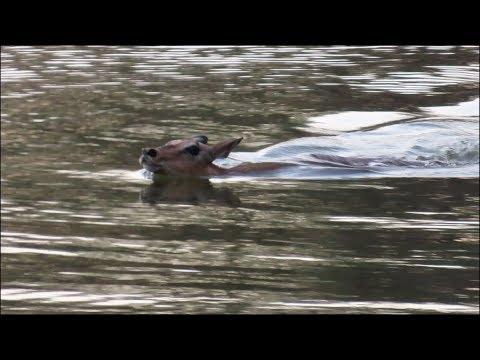 Impala Escapes Wild Dog Trap by Swimming!