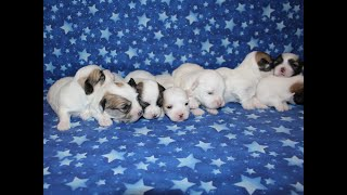 Coton Puppies For Sale - Kaley 7/27/20