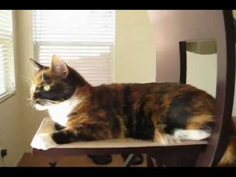 difference between tortoiseshell and calico