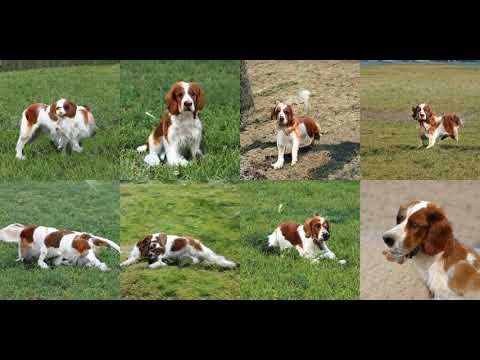 Generating Welsh Springer Spaniel with Deep Learning