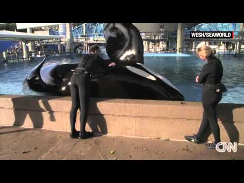 Tilikum The Killer Whale May Be Close To Dying