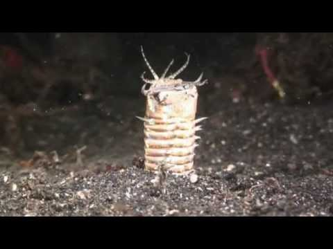 Bobbit Worm and frog fish night hunting Sulavesi