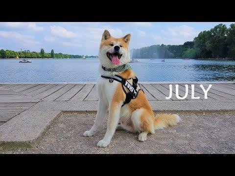 Akita Inu - July