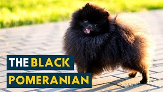 Black Pomeranian: 10 Things Owners Should Know Before Adopting This Fluffy Dog!