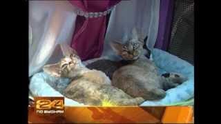 Выставка котят редких пород прошла в Иркутске.